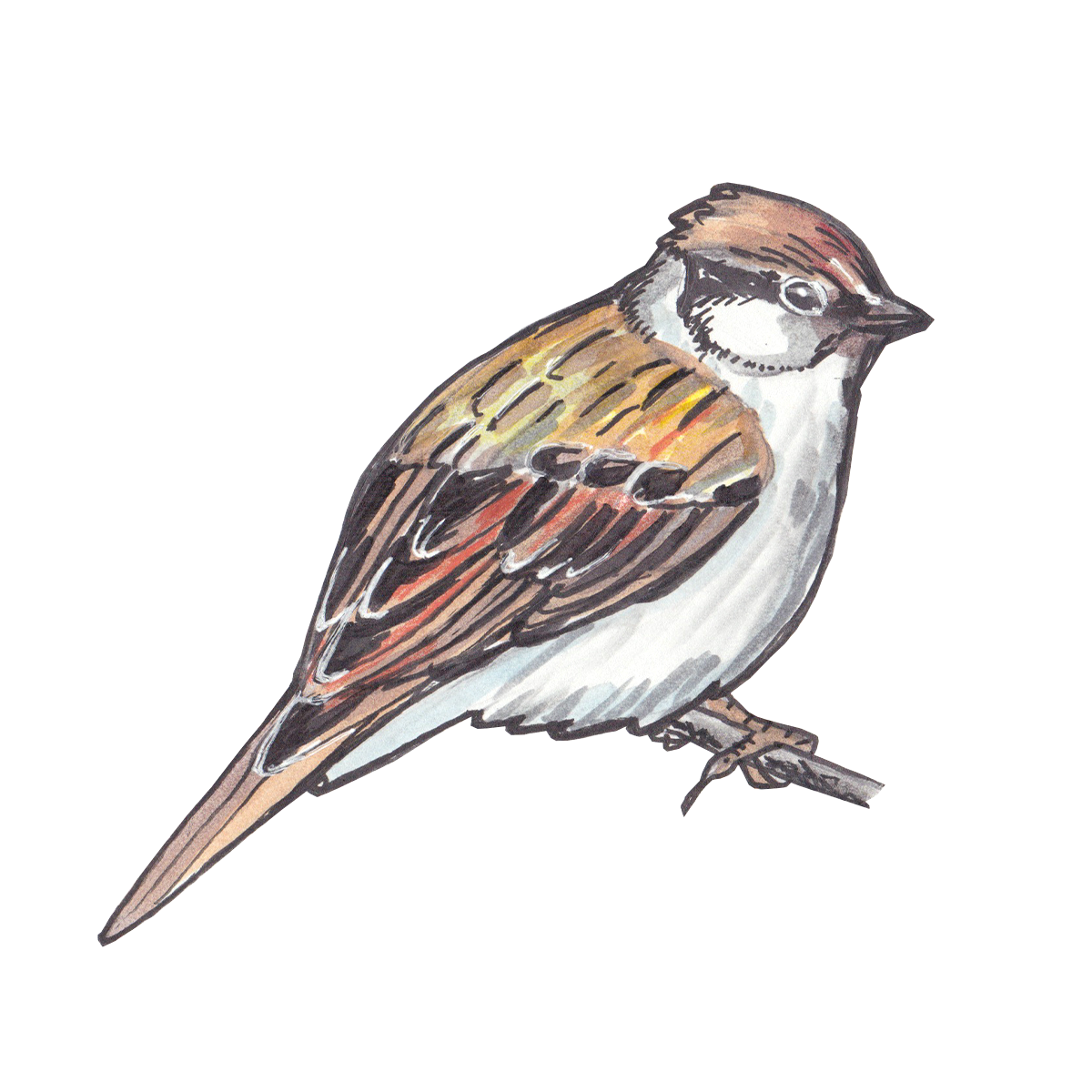 Chipping Sparrow Bird Scout
